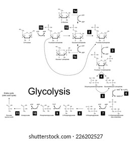 Glycolysis images stock photos vectors shutterstock chemical scheme of glycolysis metabolic pathway 2d illustration on white background vector eps ccuart Image collections
