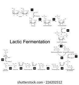 Chemical scheme of lactic fermentation metabolic pathway, 2d illustration on white background; vector, eps 8