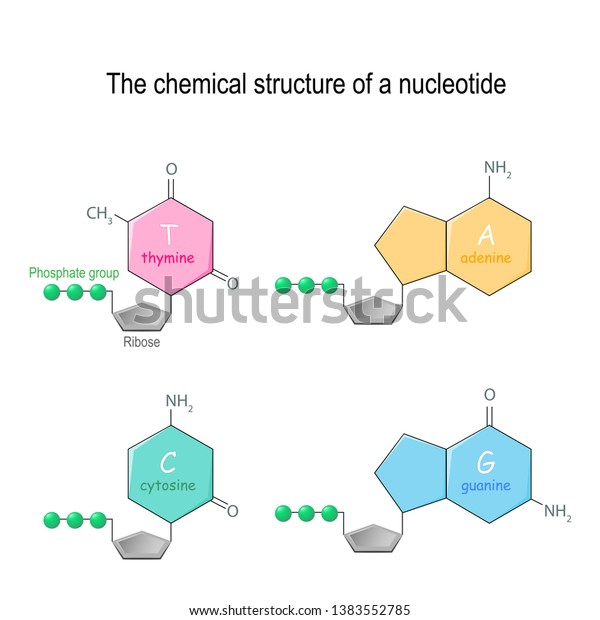 Chemical Structure Nucleotide Four Main Bases Stock Vector