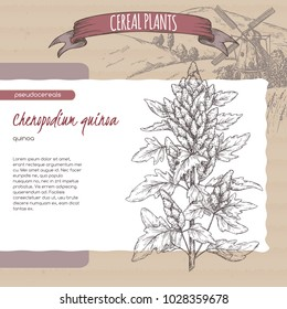 Chenopodium quinoa aka quinoa sketch with field landscape. Cereal plants collection. Great for bakery, agriculture, farming design.
