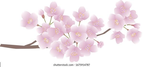 Cherry blossom branch vector illustration