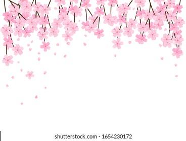 Cherry blossom and falling petals isolated on white background vector illustration. Sakura Japanese flower.