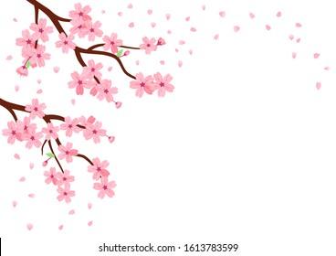 Cherry blossom and falling petals on white background. beautiful nature vector illustration, Sakura Japanese flower.