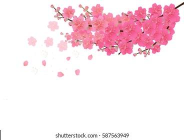 Cherry blossom flowers background. Sakura flowers isolated white background