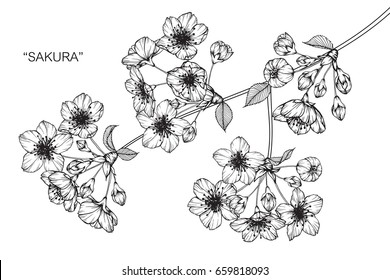 "Cherry blossom ""sakura"" flowers drawing and sketch with line-art on white backgrounds."