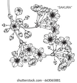 """Cherry blossom """"sakura"""" flowers drawing and sketch with line-art on white backgrounds."""