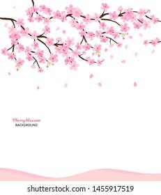 Cherry blossoms, spring flower vector illustration on white background ,Japanese sakura flowers