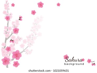 Cherry blossom,Sakura pink flowers  background.