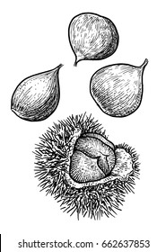 Chestnut illustration, drawing, engraving, ink, line art, vector