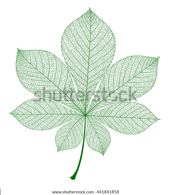 Chestnut leaf isolated. Vector green realistic illustration.