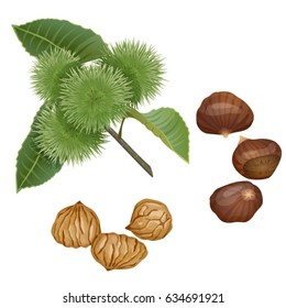 Chestnut plant, nuts and peeled kernels / Part of chestnut branch with the fruits, nuts in the shell and peeled nuts