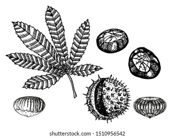 Chestnut set of vector sketches on white background. Chestnut leaf and nuts drawing set. Autumn elements. Hand drawn detailed botanical illustration.