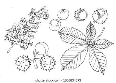 Chestnut tree blossom, leaf, fruit, seeds. Conifers are the seed of the horse chestnut tree. Set. Hand drawn vector