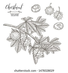 Chestnut tree branch. Black  and white fruits ans leaves of chestnut. Hand drawn vector illustration. Autumn collection. Engraving style.
