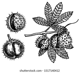 Chestnut tree branch Sketch. Black and white fruits and leaves of chestnut. Hand drawn vector illustration. Autumn collection.