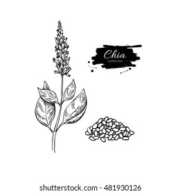 Chia plant and seeds vector superfood drawing. Isolated hand drawn  illustration on white background. Organic healthy food. Great for banner, poster, label, sign