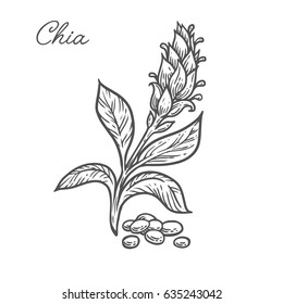 Chia seed plant, leaf, branch. Hand drawn engraved vector sketch etch illustration. Superfood for desserts. Nutrition, detox, omega tree, vitamin ingredient. Chia Black on white background