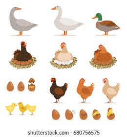Chicken brood hen, ducks and other farm birds and his eggs. Vector illustrations set in cartoon style