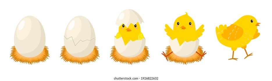 Chicken hatching stages. Newborn little cute chick, small baby bird emergence from egg, cracked shell in laying hens nest. Easter chicks concept. Funny domestic animal vector cartoon isolated concept