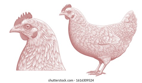Chicken and Chicken Head. Design set. Art detailed editable illustration. Vector vintage engraving. Isolated on white background. 8 EPS