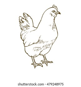 Chicken hen line art hand drawn sketch