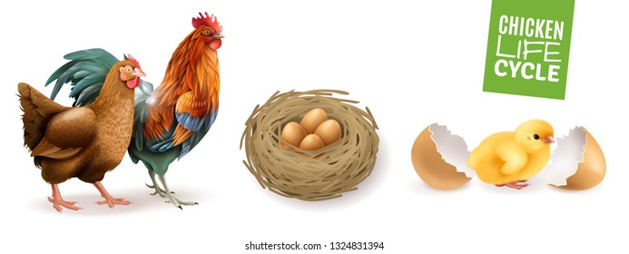 Chicken life cycle realistic horizontal set  with hen rooster fertile eggs and newly hatched chick vector illustration