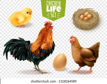 Chicken life cycle realistic set from eggs laying chicks hatching to adult birds transparent background vector illustration