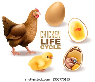 Chicken life cycle stages realistic  composition from fertile egg embryo development hatching to adult hen vector illustration