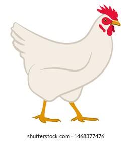 Chicken. Vector illustration isolated on white. White hen.
