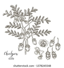 Chickpea plant isolated on white background. Chickpea flowers, pods and seeds. Hand drawn legumes. Vector illustration engraved.