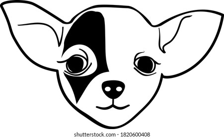 Chihuahua Cute Face black and white round eyes young puppy