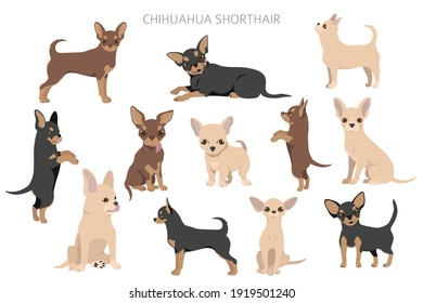 Chihuahua dogs  in different poses. Adult and puppy set.  Vector illustration