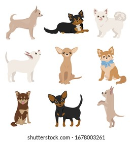 Chihuahua dogs in poses. Different varieties of coat color set.  Vector illustration