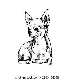 chihuahua sketch. hand drawn on a white background