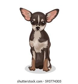 chihuahua small dog