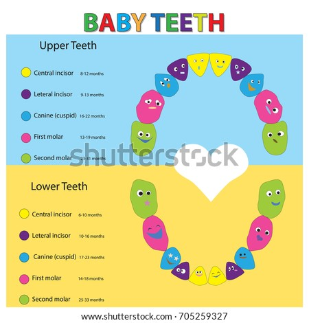 Children Teeth Anatomy Dental Teeth Chart Stock Vector Royalty Free