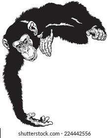 chimpanzee ape, black and white image