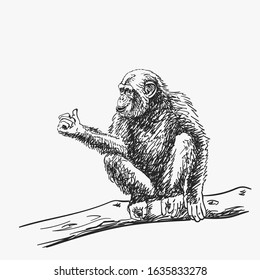 Chimpanzee with arm showing thumb up sitting on tree branch, isolated vector sketch, Hand drawn illustration