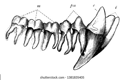 Chimpanzee Teeth have 32 teeth which are very similar to those of Humans to help them to not just grind up plant matter but their longer canines, vintage line drawing or engraving illustration.