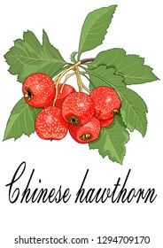 Chinese hawthorn fruit illustration vector