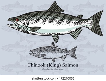 Chinook (King) Salmon. Vector illustration with refined details and optimized stroke that allows the image to be used in small sizes (in packaging design, decoration, educational graphics, etc.)