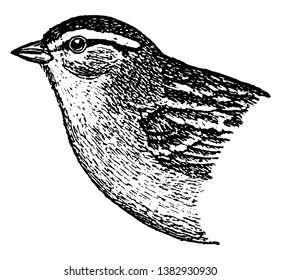Chipping Sparrow is a species of American sparrow, vintage line drawing or engraving illustration.