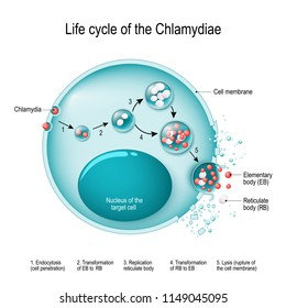Chlamydia life cycle. bacteria. Sexually transmitted disease and Chlamydia infection. vector illustration for medical, educational and science use