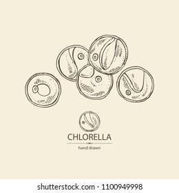 Chlorella: chlorella seaweed, powder and tablet. Unicellular green algae. Edible seaweed. Vector hand drawn illustration.