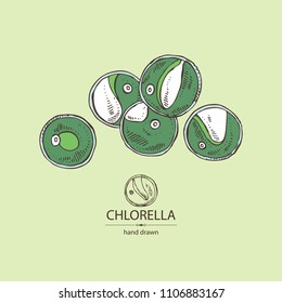 Chlorella: chlorella seaweed. Unicellular green algae. Edible seaweed. Vector hand drawn illustration.