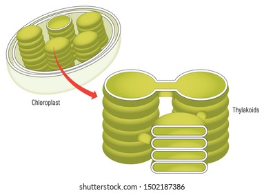 Chloroplasts are the site of photosynthesis in eukaryotes