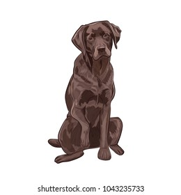 Chocolate labrador sitting and giving a paw. Brown dog isolated on white background.