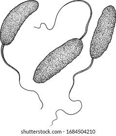 Cholerae bacteria illustration, drawing, engraving, ink, line art, vector