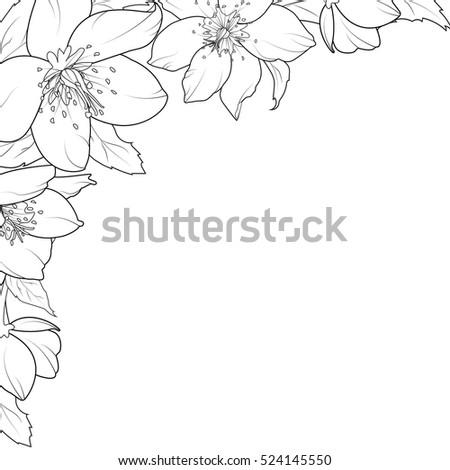 christmas rose hellebore flowers corner edge stock vector royalty