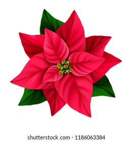 Christmas star decorative poinsettia flower isolated on a white background.